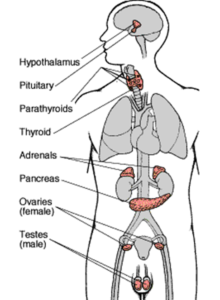The Endocrine System illustrated in the human body